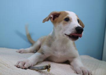 Argentina já tem seu primeiro cão clonado por encomenda