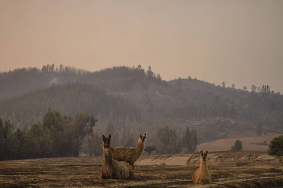 Animales vagan en terrenos calcinados tras un incendio forestal.