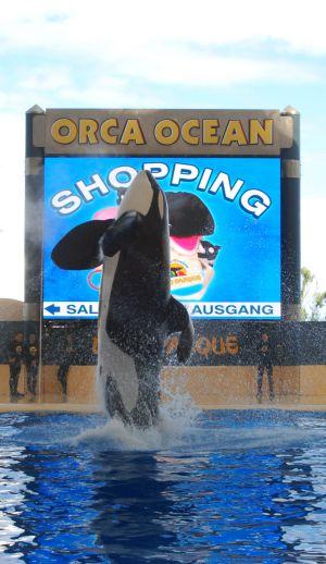 Keto, la orca que mató a Alexis Martínez, durante el espectáculo de la semana pasada en Loro Parque.