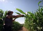 Europa renuncia a unificar su política sobre cultivos transgénicos