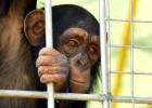 Chimpancés a la fuga en el zoo de Mallorca