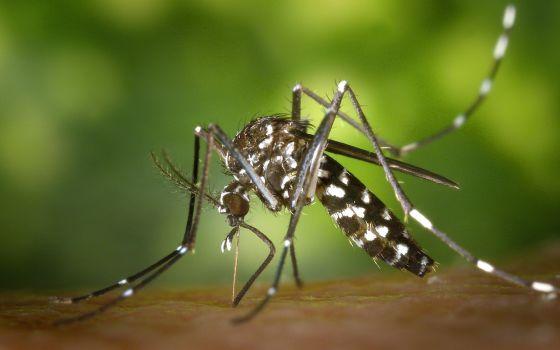 Mosquito tigre, transmisor del virus de Chikungunya