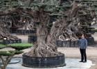 Ponga un árbol milenario en el jardín de su casa