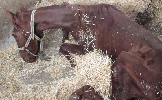 Uno de los caballos que murió poco después de ser localizado