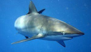Ejemplar del tiburón sedoso.