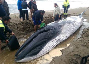 Muere la ballena hallada en una playa de Huelva