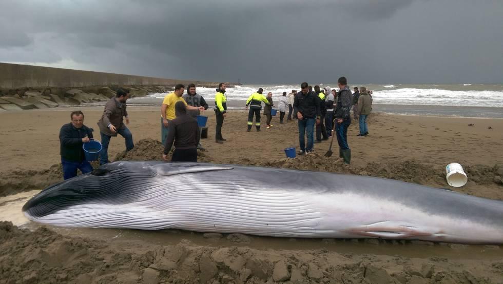 Muere la ballena hallada en una playa de Huelva | España ...