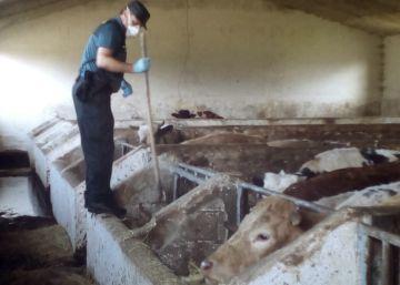 Un detenido en Cantabria tras encontrar en su granja 21 vacas muertas