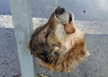 La Guardia Civil cifra en 200.000 euros el fraude por ataques de lobo en Asturias