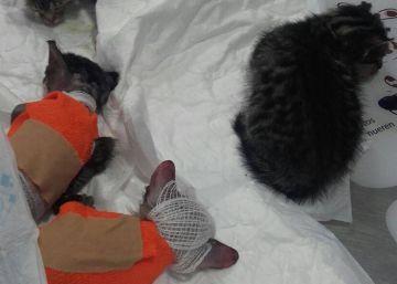 Detenido un hombre tras arrojar un líquido corrosivo a una camada de gatos