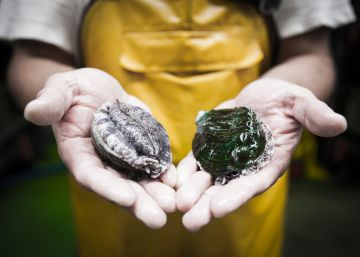 El marisco más exclusivo del mundo se cría en Galicia