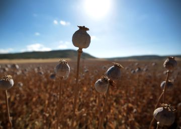 Death among Spain's poppy fields