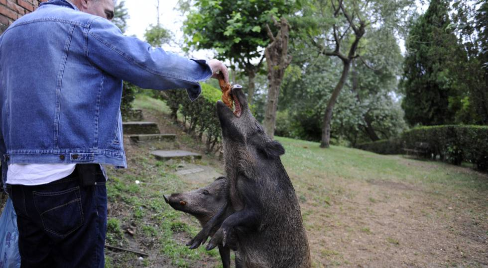Un vecino alimenta el pasado jueves a un jabalí hembra en Oviedo.