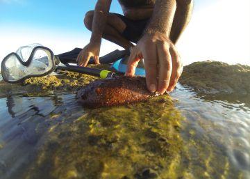 Pepinos de mar como hachís