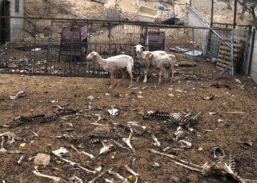 Investigado un ganadero por matar de hambre a 200 ovejas y dos perros
