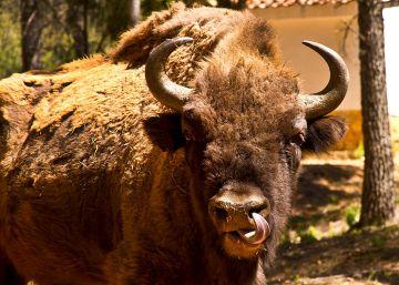 Los bisontes de Valencia murieron por desnutrición antes de ser decapitados