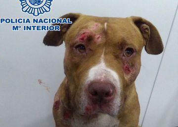 Cinco detenidos en Jaca por organizar peleas de perros