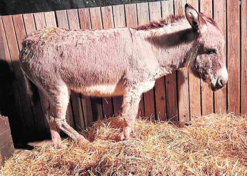 Grupos animalistas denuncian maltrato en los belenes vivientes