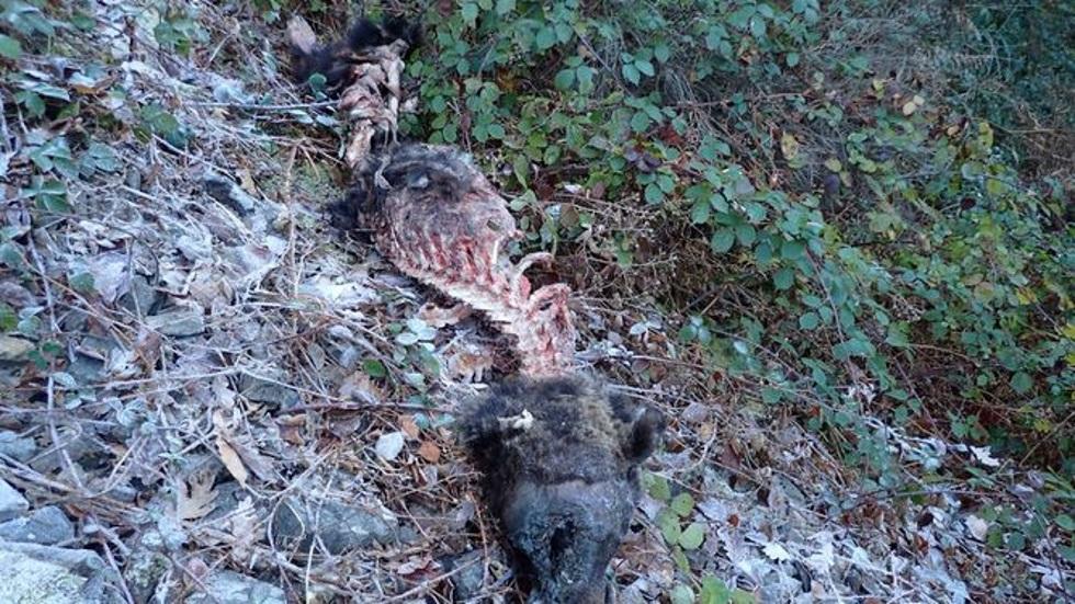 El cadáver del oso pardo que ha aparecido este fin de semana en Cangas.
