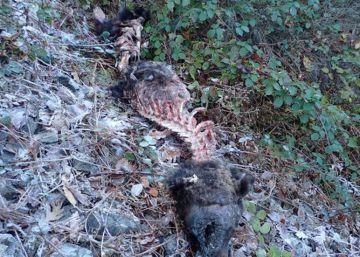 Hallado un oso pardo muerto en Asturias