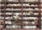 Corea del Sur sacrifica 400.000 aves al detectarse un nuevo foco de 'gripe del pollo'