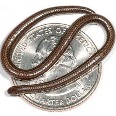 La serpiente llamada 'Leptotyphlops carlae', sobre un cuarto de dólar.