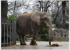 Una asociación recoge firmas para liberar a la elefanta Susi del Zoo de Barcelona