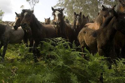 Manada de caballos asilvestrados del norte de la península Ibérica.