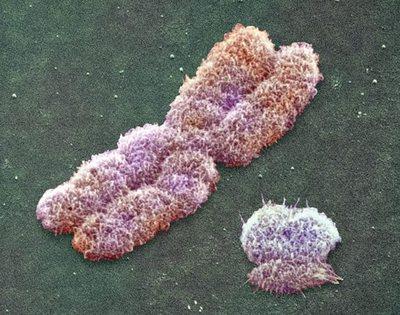 Cromosomas X e Y humanos.
