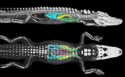 Imágenes por tomografía computadorizada, con tratamiento posterior, de un aligátor de 12 kilogramos, para estudiar la circulación del aire por los pulmones.