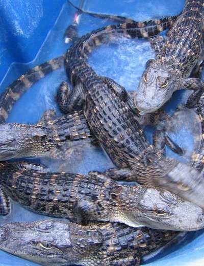 Ejemplares jóvenes de aligátor americano en la Universidad de Utah.