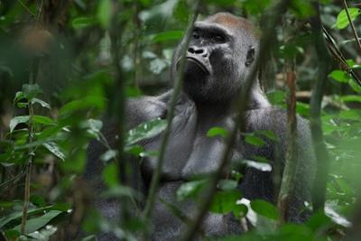 Un gorila en el norte de la República del Congo. En esta especie se ha detectado una incidencia especialmente alta de malaria