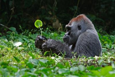 Un gorila en un claro de la arboleda
