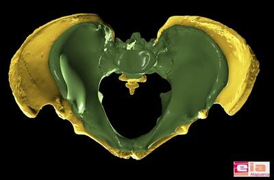 La pelvis de anciano de la Sima de los Huesos (en amarillo) es la pelvis humana más completa de todo el registro fósil mundial. Su gran tamaño comparado con la pelvis de un hombre actual (en verde), da una idea de la corpulencia que tenía este antepasado de los neandertales