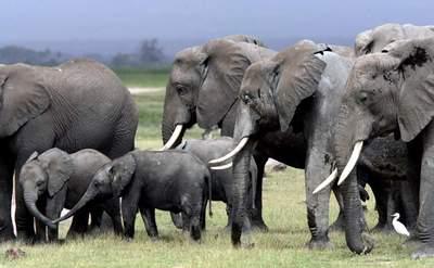 Manada de elefantes en el Parque Nacional de Amboseli ( Kenia), en 2001.