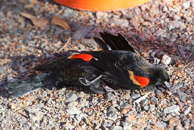 Miles de pájaros han sido recogidos de tejados y aceras desde Nochevieja, en el estado de Arkansas. En la imagen, un ejemplares econtrados en la localidad de Beebe.