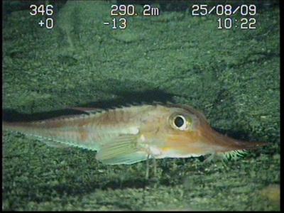 Pez armado avistado en la expedición 'Oceana Ranger' en Canarias en 2009