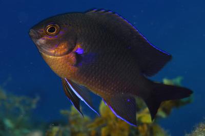 Fula negra avistada en la expedición 'Oceana Ranger' en el archipiélago canario en 2009