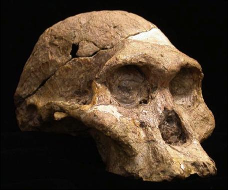 Fósil de una hembra de  Australopithecus robustus