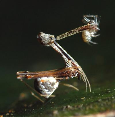 Eriauchenius amber , de la familia Archaeidae, fue descubierta junto con otras nueve especies nuevas de araña en Madagascar; con largo cuello y mandíbulas, esta se come a otras arañas.