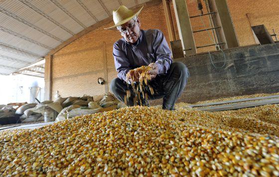 Un agricultor examina el maiz transgénico que cultiva.