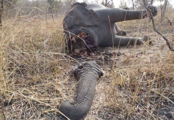 Un elefante abatido en el parque nacional de Bouba N'djida, en Camerún.