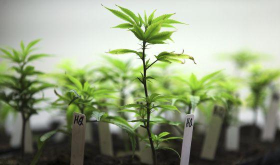 EE UU permite el cultivo de cannabis con fines medicinales.