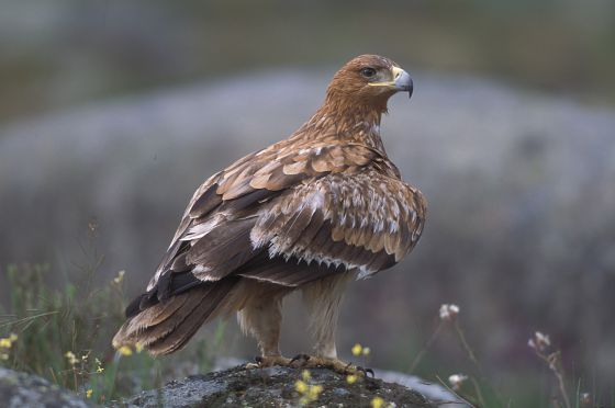 Ejemplar de águila imperial ibérica