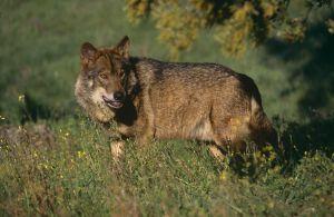 El lobo ibérico está estrictamente protegido al sur del Duero.