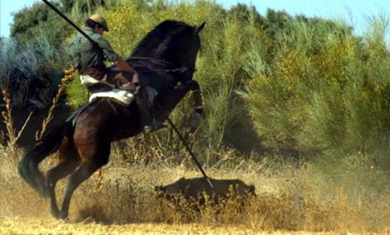 Cacería de un jabalí mediante lanza.  Domingo García (Club Internacional de Lanceo)