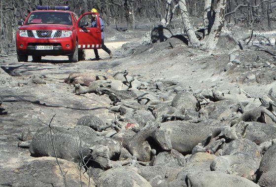 Un bombero, ante los cuerpos de algunas de las 500 ovejas abrasadas por el incendio forestal cerca de Darnius, (Girona).