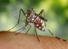 Cinco mosquitos se 'nacionalizan' europeos