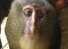 El lesula, nuevo mono africano