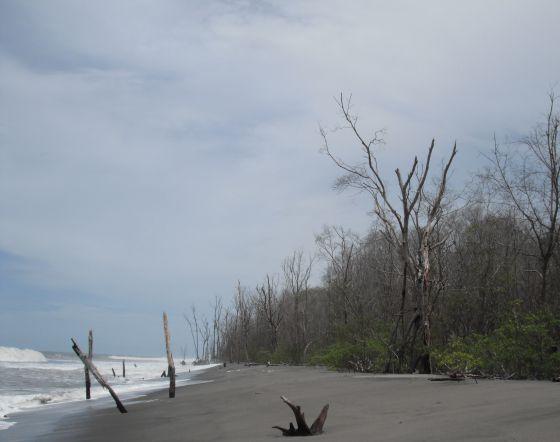 Tocones son lo que queda de los manglares.